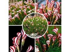 50 semen pestrobarevného šťavelu