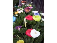 100 semen nádherně barevné Kaly
